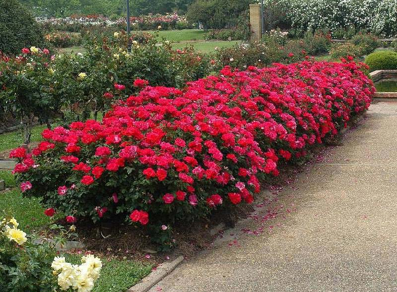 Landscaping-Rose-Bushes