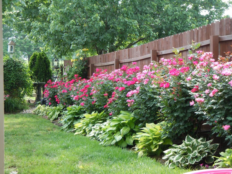 Low-Maintenance-Landscape-Roses