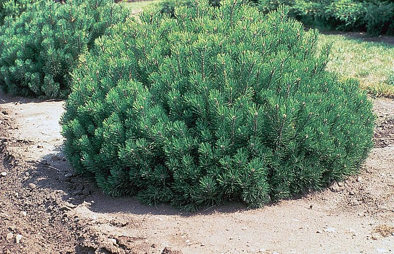 Pine-Shrubs-Landscaping