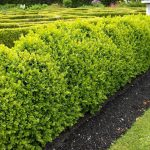 Popular-Landscaping-Shrubs