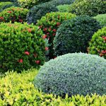 Shrubs-For-Landscaping